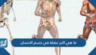 ما هي اكبر عضلة في جسم الانسان