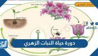 دورة حياة النبات الزهري