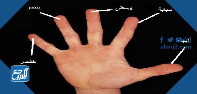 صور اسماء اصابع اليد