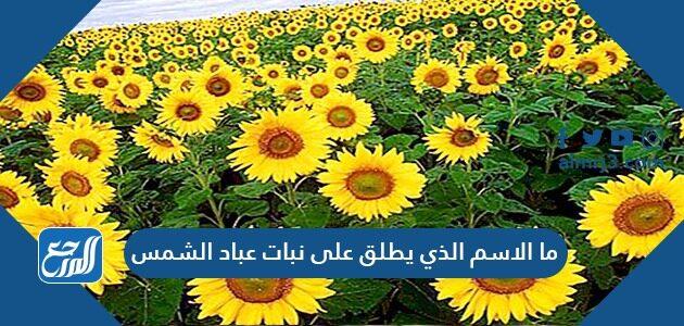 ما الاسم الذي يطلق على نبات عباد الشمس