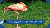 لماذا طائر الفلامنجو يقف على رجل واحده