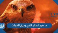 ما هو الطائر الذي يحرق الغابات