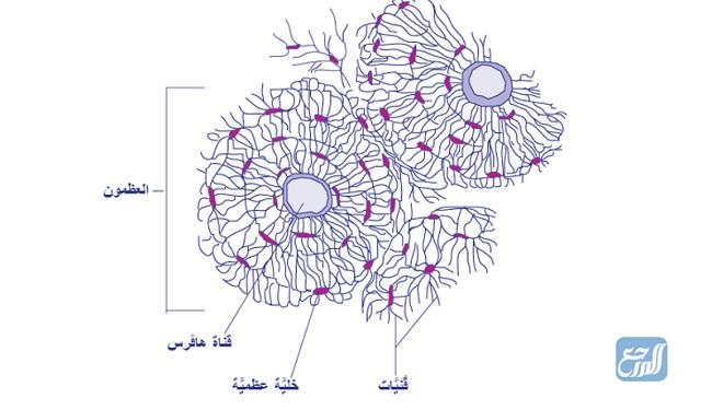 الخلايا التي تحاط بمواد صلبة مكونة من الفسفور والكالسيوم هي خلايا عظمية
