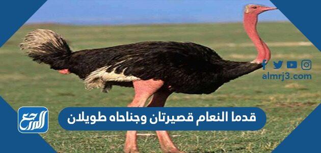 قدما النعام قصيرتان وجناحاه طويلان