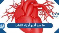 ما هو أكبر أجزاء القلب