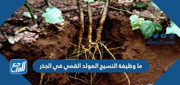 ما وظيفة النسيج المولد القمي في الجذر