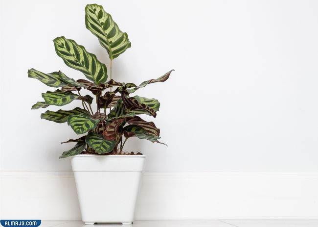 نبات الطاووس