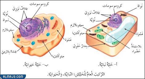 الفرق بين الخلية النباتية والخلية الحيوانية