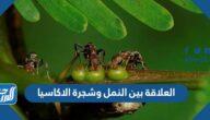 العلاقة بين النمل وشجرة الاكاسيا