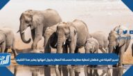 تسير الفيلة في قطعان لحماية صغارها ممسكة الصغار بذيول امهاتها يعتبر هذا التكيف