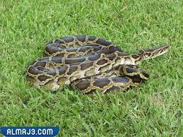 ثعبان Python - أنواع من الثعابين غير السامة