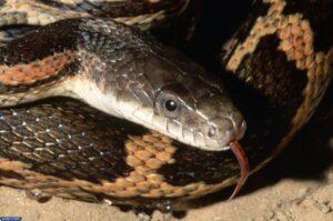 ثعبان الجرذ - أنواع الثعابين غير السامة