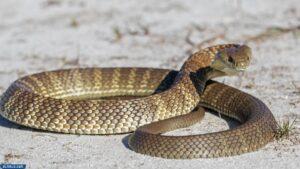 ثعبان النمر الشرقي - أنواع الثعابين غير السامة