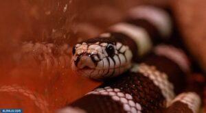 ثعبان ملك كاليفورنيا - أنواع الثعابين غير السامة