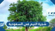شجرة النيم في السعودية وفوائدها وأماكن بيعها في المملكة