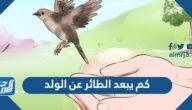 كم يبعد الطائر عن الولد