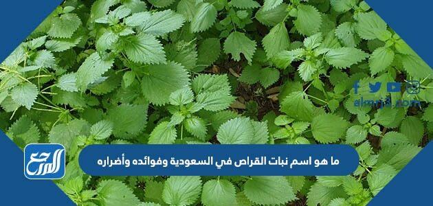 ما هو اسم نبات القراص في السعودية وفوائده وأضراره