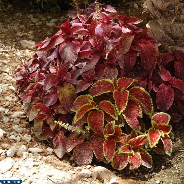 ما اسم نبات القراص في السعودية ، فوائده وأضراره