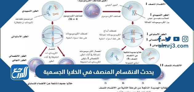 يحدث الانقسام المنصف في الخلايا الجسمية